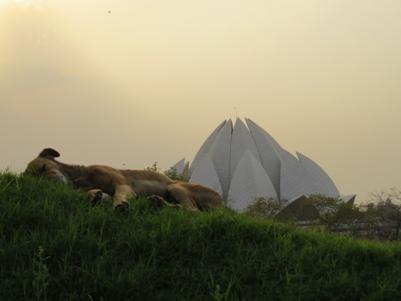 Relaxed dog at Lotus Temple